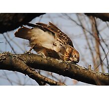 Redtail Hawk Hunting: After Meal Cleanup Photographic Print
