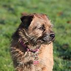 Border Terrier by MelTho