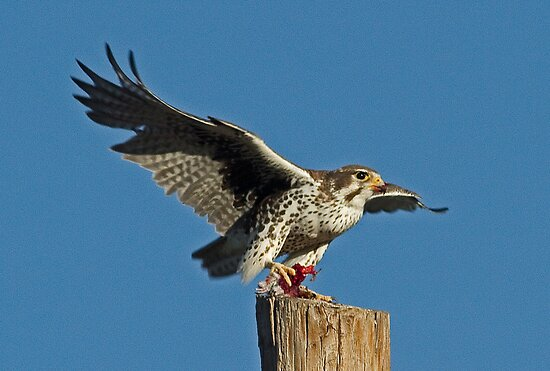 112412 Prairie Falcon by Marvin Collins