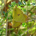 Yellow Sulphur Butterfly Pair by Ron Russell