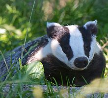 Badger in the warm summer sun by SteveHphotos
