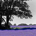 Mayfield Lavender selective colouring by SteveHphotos