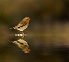 Robin reflections by SteveHphotos