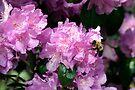 Spring Bee & Azalea Blossoms by Gene Walls