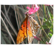 Beauty With Hairy Chest - Gulf Fritillary Poster