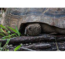Galapagos Tortoise. Photographic Print