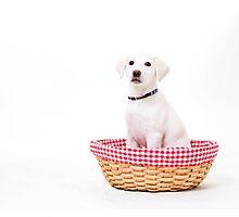 White Lab Puppy Photographic Print