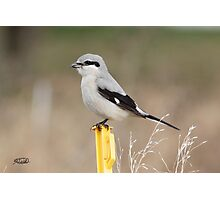 Shrike-on-a-Stick Photographic Print
