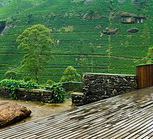 Tea Plantation  by Dimuthu  Sudasinghe