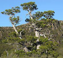 Pencil Pines Mount Olympus - photo Peter by PeterJF