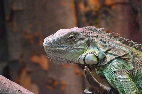 Beautiful peaceful Iguana Lizard sitting on a tree. by BFN1978