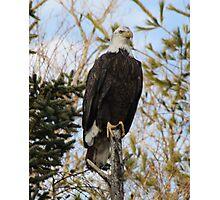 Bald Eagle 2 Photographic Print
