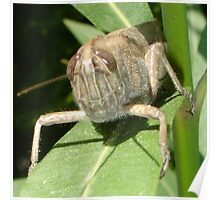 Grasshopper on An Oleander Leaf Poster