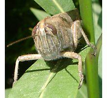 Grasshopper on An Oleander Leaf Photographic Print