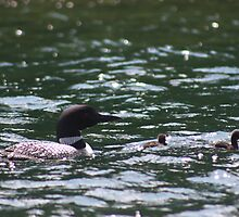 Loon with Babies 1 by MarquisImages