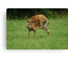 Deer Itch Canvas Print