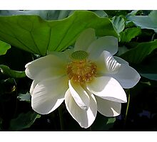 Delicate white Lotus Flower Photographic Print