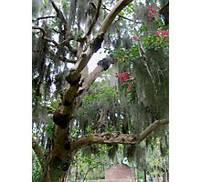 Spanish Moss and Roses Photographic Print