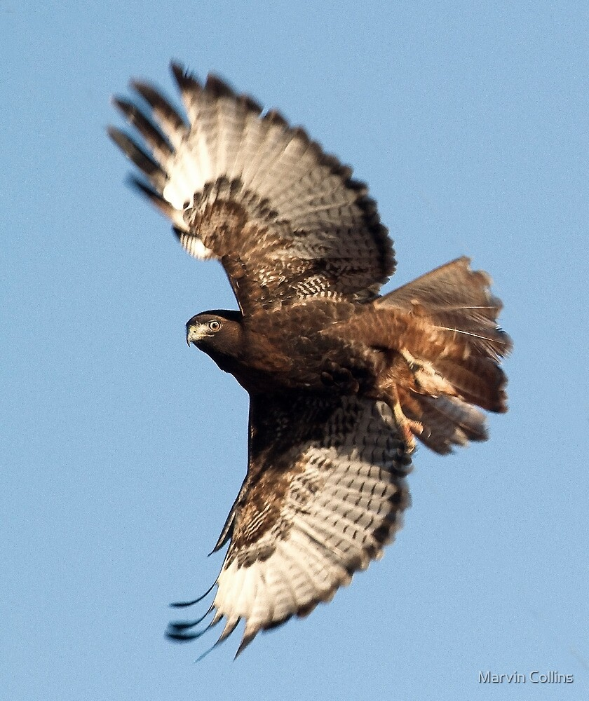 Chocolate Colored Hawk by Marvin Collins