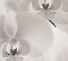 Delicate Orchids by SweetLemon