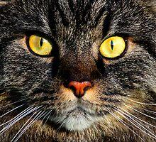 Amber Eyes by dgscotland