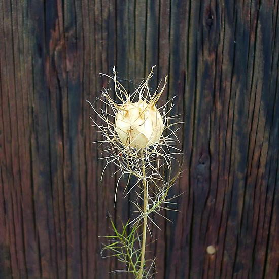 Lacy Seed Pod by Jess Meacham