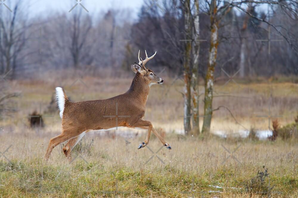 Buck on the Run 2 by Jim Cumming