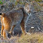 The Canadian Lynx by Chris  Gale