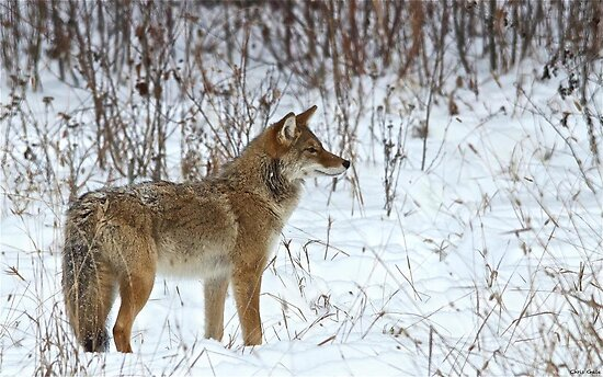 Coyote On The Prowl by Chris  Gale
