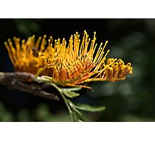 Tree Grevillea Photographic Print