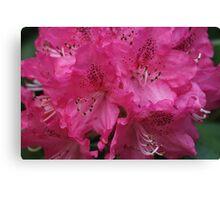Mt. Dandenong Rhododendrons,Victoria. Canvas Print