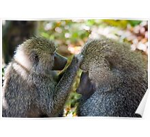 Baboons Grooming Poster