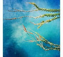 blue ocotillo sky Photographic Print