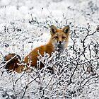 Winter Red Fox by Caren della Cioppa