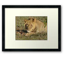 Lion on safari Framed Print