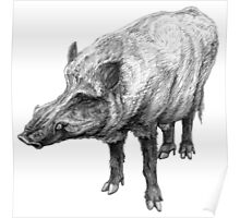 Wild boar illustration Poster