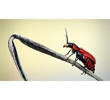 Red beetle  Photographic Print