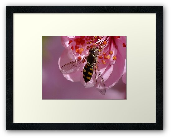 Hover Fly in the Pink by Gabrielle  Lees