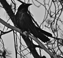 CROW   by Jane  mcainsh