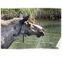 Moose Drinking Poster
