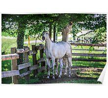 Lipizzaner horses Poster