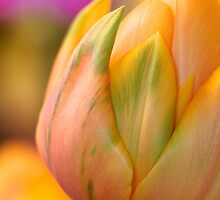 Tulip  by Ken Fleming