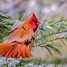 Christmas Cardinal by Tarrby