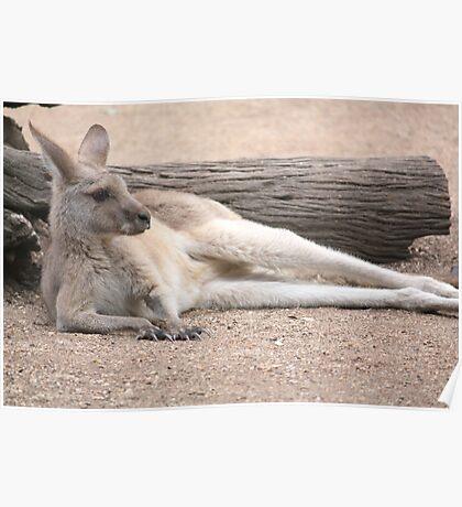 Kangaroo Lazing Poster