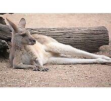 Kangaroo Lazing Photographic Print