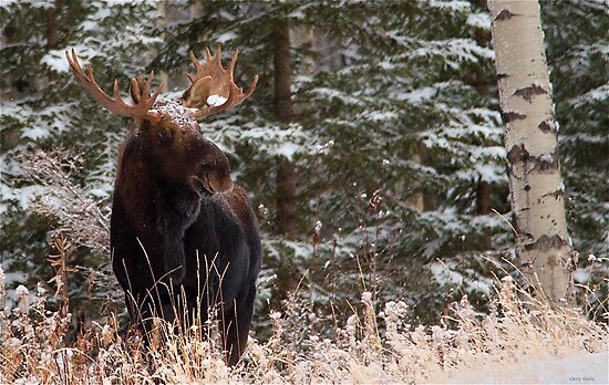 The Bull Moose by Chris  Gale