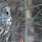 The Great Grey Ghost Owl by Chris  Gale