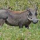 Warthog, Arusha National Park, Tanzania by Adrian Paul