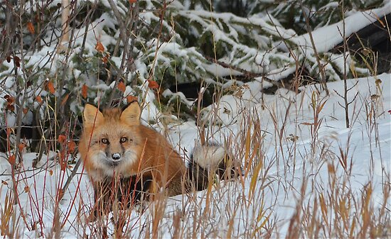 The Red Fox by Chris  Gale