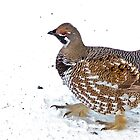 The Spruce Grouse by Chris  Gale